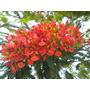 Plantines De Arbol Chivato