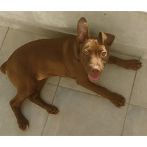 Vendo Perra Pitbull Cruze Con Dogo Cachorra Tres Meses