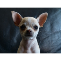 Chihuahua Hembrita De Tres Meses