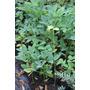 Plantines De Ceibo ( Erythrina Crista-galli )