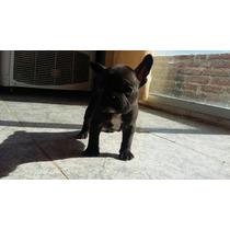 Bulldog Francés Cachorros Hembras $15000 Para Entregar Fca