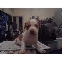 Perro Cachorros Pitbull