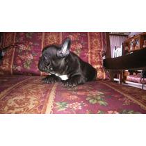 Bulldog Frances Criadero Il Mio Azienda Mascotas Hembra