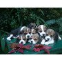 espectacular caba�a beagles caba�a scaligers