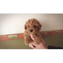 Caniche Mini / Micro Hembrita Cachorros!!! (consulte!!!)