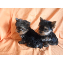 Yorkshire Terrier Hembras Con F.c.a 12 Cuotas Sin Interes
