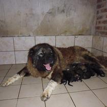 Cachorros Pastores Del Caucaso Criadero En San Pedro