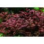 Luwigia Repens Var. Rubin - Planta De Acuario