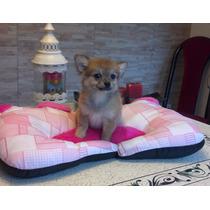 Chihuahua Hembrita Pelo Largo Pedigree De Fca !!!