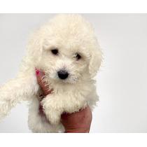 Caniche Mini Micro Toy Hembra Cachorros!! (consulte)