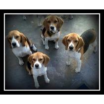 Beagles Adultos, Hembras Y Machos