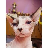 Gato Sphynx Macho Sin Castrar