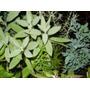 Plantas Aromaticas Viveruski Plantines Albahaca Ruda Cedron