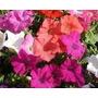 Petunias Copetes Violas Flores X 20 Plantines El Viveruski