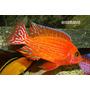 Aulonocara Sp. Firefish - Cíclidos Africanos - Lago Malawi