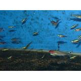 10 Neones Cardenal Grandeel Mejor Precio! A.aquariumba
