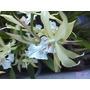 Orquideas Miltonias Flavescens Amarilla X 3 Plantas@