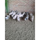 Venta De Lechones - Conejos - Cordero