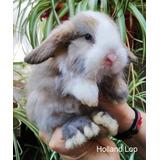Conejos Holland Lop, En La Paternal, Listos Para Retirar!!!