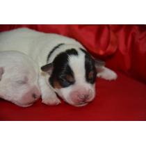 Jaks Russell Terriers Con Chip Y Pedigri De La Fca Broken
