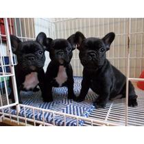 Bulldog Frances, Cachorros Para Entendidos Con Pedigree Fca