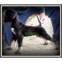 Cachorros Galgos, Con Pedigri C.c.a. Tatuados.