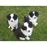 Cachorros Border Collie !!