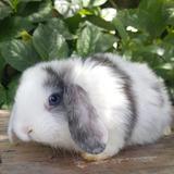 Conejos Holland Lop Puros Excelente Genetica
