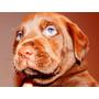 Cachorros Chocolatesde Labrador Retriever Criadero Calquin