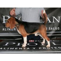 Beagle En Servicio De Stud Las Mejores Lineas Experiencia