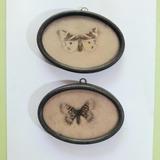 Mariposas Disecadas Naturales Antiguas De  Coleccion