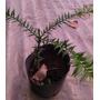 Plantines De Araucaria Para Bonsai