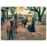 Manada De Llamas - 1 Macho Y 2 Hembras - Dóciles