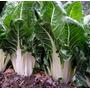Acelga Verde De Pencas Blancas Huerta Semillas Para Plantas