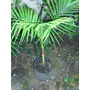 Palmera Real Australiana - Archontophoenix Cunninghamiana