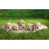Labradores Retriever Cachorros Envios A Todo El Pais