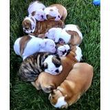Bulldog Ingles Cachorros