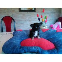 Chihuahuas M I N I A T U R A S Con Pedigree De F C A