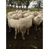 Ovejas ,carneros Y Corderos