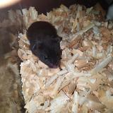 Hamsters Black Teddy Bear Bebés