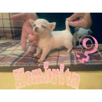 Chihuahua Hembra Blanca Mini Con Fca