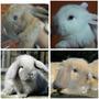 Conejos Orejas Caídas Holland Lop Ojos Celestes Entrega 10/8