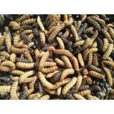 50 Larvas/prepupas/pupas Mosca Soldado Negra Alimento Vivo