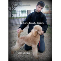 Cachorro Caniche Toy Gigante Con Papeles Y Papeles