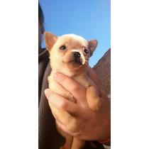 Chihuahua Mini Macho Excelente Calidad