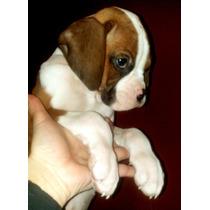 Cachorros Boxer Bayos