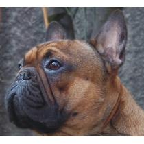 Servicio Bulldog Frances Rojo Mascara Negra