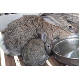 Conejos Gigantes De Flandes Macho De 5 , Y Hembras De 4 Mese