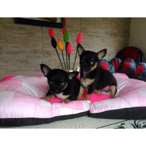 Chihuahuas Hembras Pelo Corto, Las Más Pequeñas !! Fca