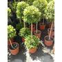 Eugenia Myrtipholia Arbolito - Topiario (2 Copas) Envíos